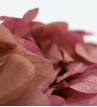 Hortenzie bicolor