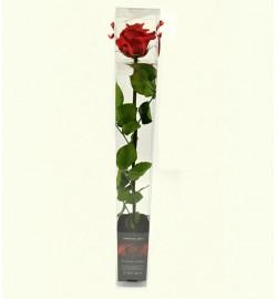 Růže balená