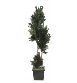 Salignum tree