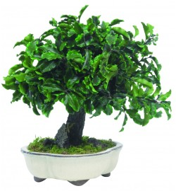 Tenuifolium Pittosporum Bonsai