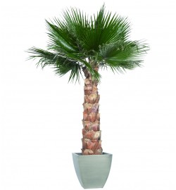Washingtonia palm tree kit