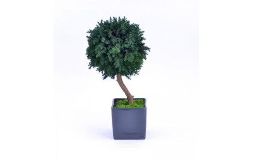 Stromeček Juniperus - 3