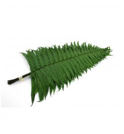 Parchment fern